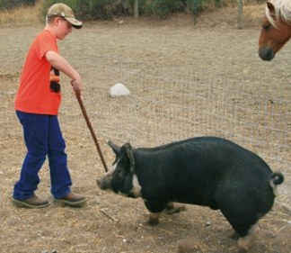 Cody Wottlin has been trying to teach his pig, Merkansham, to walk backwards. Photo by Marcy Stamper