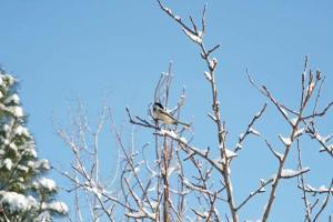 Chicka-dee-dee-dee. A black-capped chickadee cheers the fresh snow and sunshine on Tuesday morning. Photo by Marcy Stamper