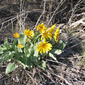 A place in the sun Anyone in a hurry to see the blooms of arrowleaf balsamroot should hurry over the Loup, where spring is further along. These sunflowers welcomed the rays near Malott. Photo by Marcy Stamper