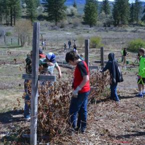 Methow Valley Elementary School students and volunteers cut back raspberry canes in the Classroom in Bloom garden. Photo by Laurelle Walsh