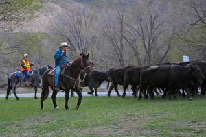 Dave Hicks, ranch manager (in orange), is joined here by Doug Olsen riding Sully as they work to keep the cattle from stopping for a nice grassy snack. Photo by Darla Hussey