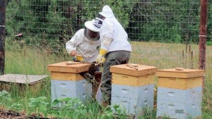 Susie Kowalczyk, left, and Joanna Bastian gather a honeybee swarm. Photo by Joe Bastian