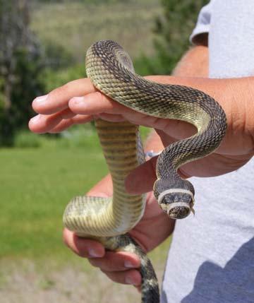 snakeP