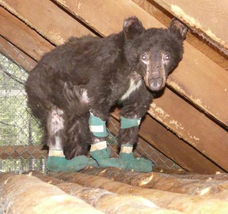 Her burned paws bandaged, Cinder is recovering at the Lake Tahoe Wildlife Care facility. Photo courtesy of Lake Tahoe Wildlife Care