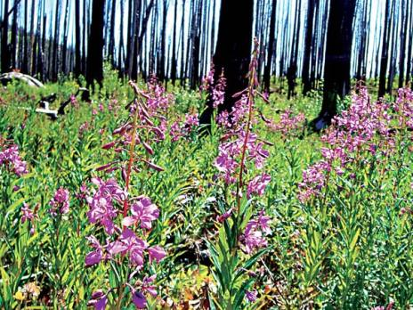 Fireweed adds brilliance to the Tripod Fire burn area. Photo by Laurelle Walsh