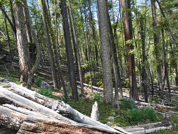 Photo courtesy of C.P. Grosenick Forested areas between ski runs at Loup Loup Ski Bowl will be cleared of potential fire fuel.
