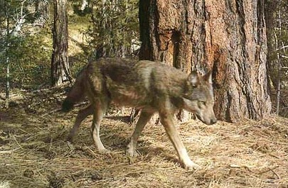 Photo courtesy of DavidMoskowitz A wildlife camera captured this photo of a Loup Loup Pack member.