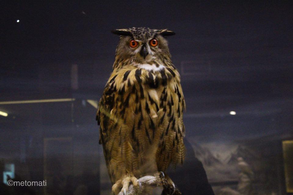μουσείο φυσικής ιστορίας-κουκουβαγια