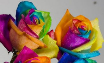 'Rainbow' roses are all the rage