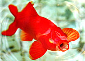 A goldfish, not swimming around in poo