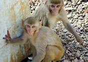 Some macaques, probably with their eyes on your undies