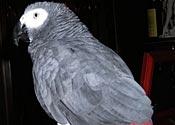 Franklin, African grey parrot