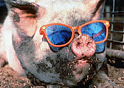 A pig: it's all in the game, yo
