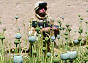 Afghan opium poppies