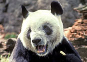 Japan's oldest giant panda dies