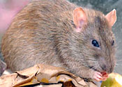 Kamikaze rat blacks out Stockholm