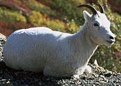 Imprisoned goats win freedom
