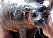 Rare pygmy hippo born in zoo