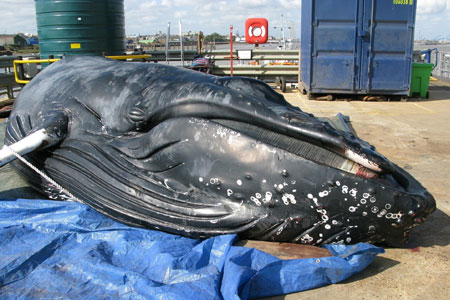 The young humpback whale lies on a dockside after being found dead in the Thames