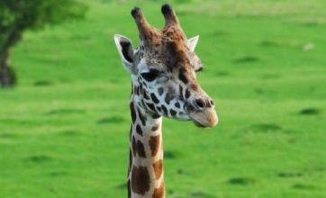 US zookeeper injured after giraffe head butt