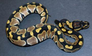 'Snake attack' man arrested after 'motel python slap'