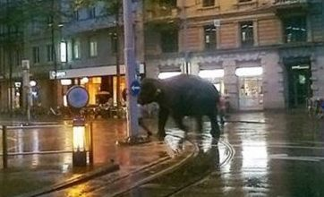 Escaped elephant goes on tour of Zurich