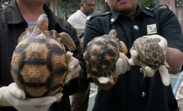 Tortoises and cannabis smuggling attempt foiled by customs staff