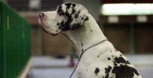 A Great Dane: please do not have sex with it