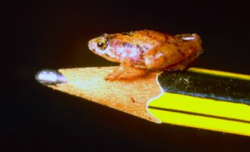 'Pea sized' micro-frog found on Borneo island