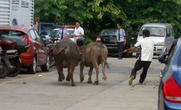 Horny bull in garage rampage calmed by fertile cow