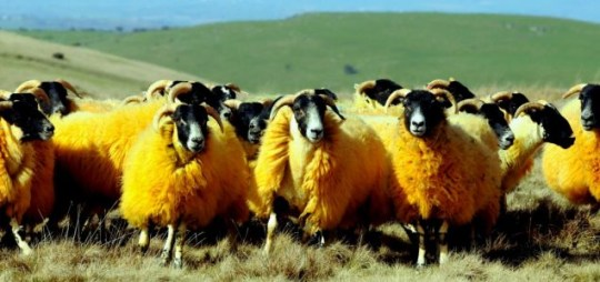The sheep's strange colour makes them less prone to being stolen, apparently (Picture: Stuart Clarke)