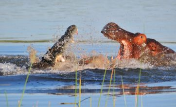 Man takes picture of a bird, snaps crocodile attacking hippo instead