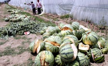 Watermelons 'explode' from too much growth chemical