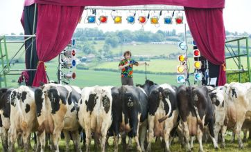 Comedian performs stand-up routine – to field of cows