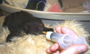 Cute alert: Baby sloth looked after by zoo staff after mum falls ill