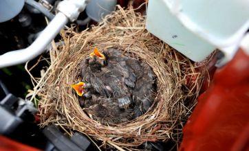 Baby blackbird nest found in car engine at Porthcawl