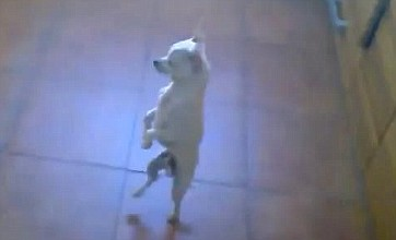 Flamenco-dancing chihuahua needs partner after becoming YouTube hit