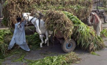 Donkey given flying lesson as owner overloads corn plant cart in Lahore