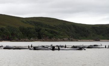 Stranded pilot whales die at the Kyle of Durness in Scottish Highlands