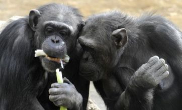 Chimpanzees are 'altruistic' and like sharing food just like humans