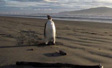 'Happy Feet' the wandering penguin heading home
