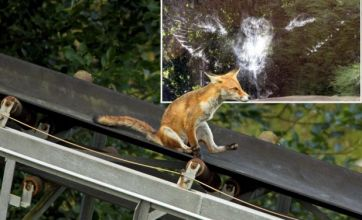 Owl with a headache v grinning fox on a slide: Freak Out