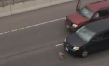 Watch: Runaway dog on motorway causes chaos – and comedy