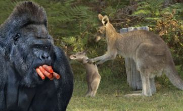 Freak Out: Greedy Gorilla v Kangaroo kid getting told off