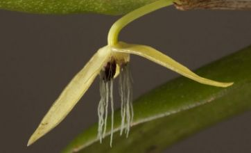 Night-flowering orchid discovered that blooms in the dark