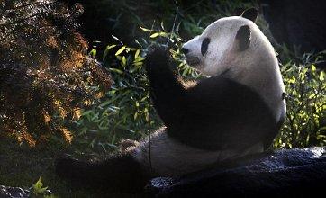 Giant pandas make first appearance at Edinburgh Zoo