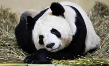 Edinburgh Zoo's giant pandas taken off display after falling ill