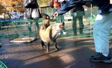 Baby monkey rides on back of wild boar