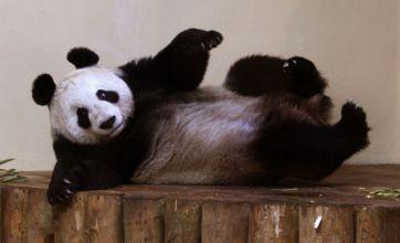 Edinburgh Zoo giant panda Sweetie gets flirting with future mate Sunshine