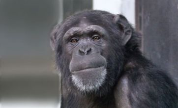 Grief etched on mother chimp's face as baby lies dead in her arms